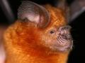Hipposideros larvatus
