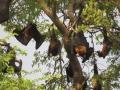 Flying_Fox_Colony_Shwe_Saydi_Pagoda_2_Web